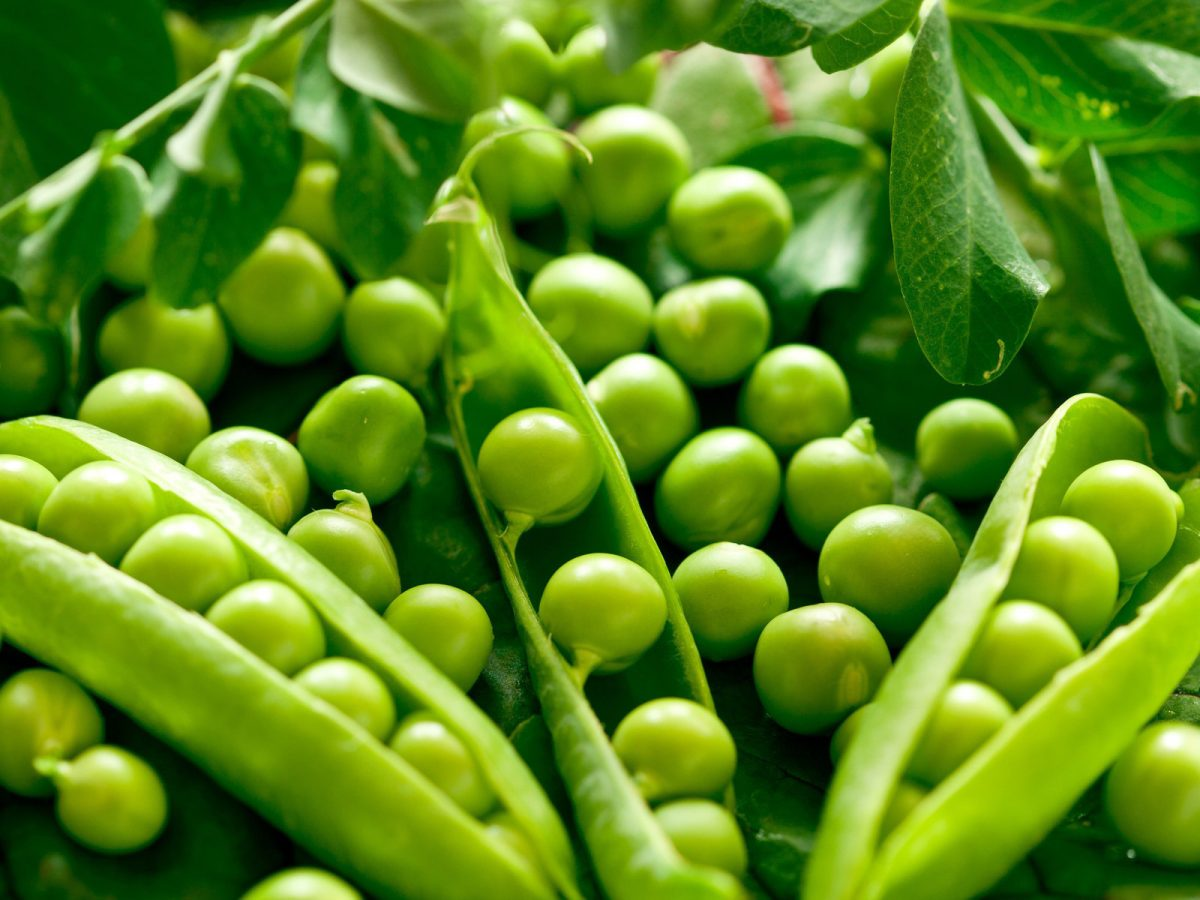 De ce mazarea verde este sanatoasa si hranitoare?